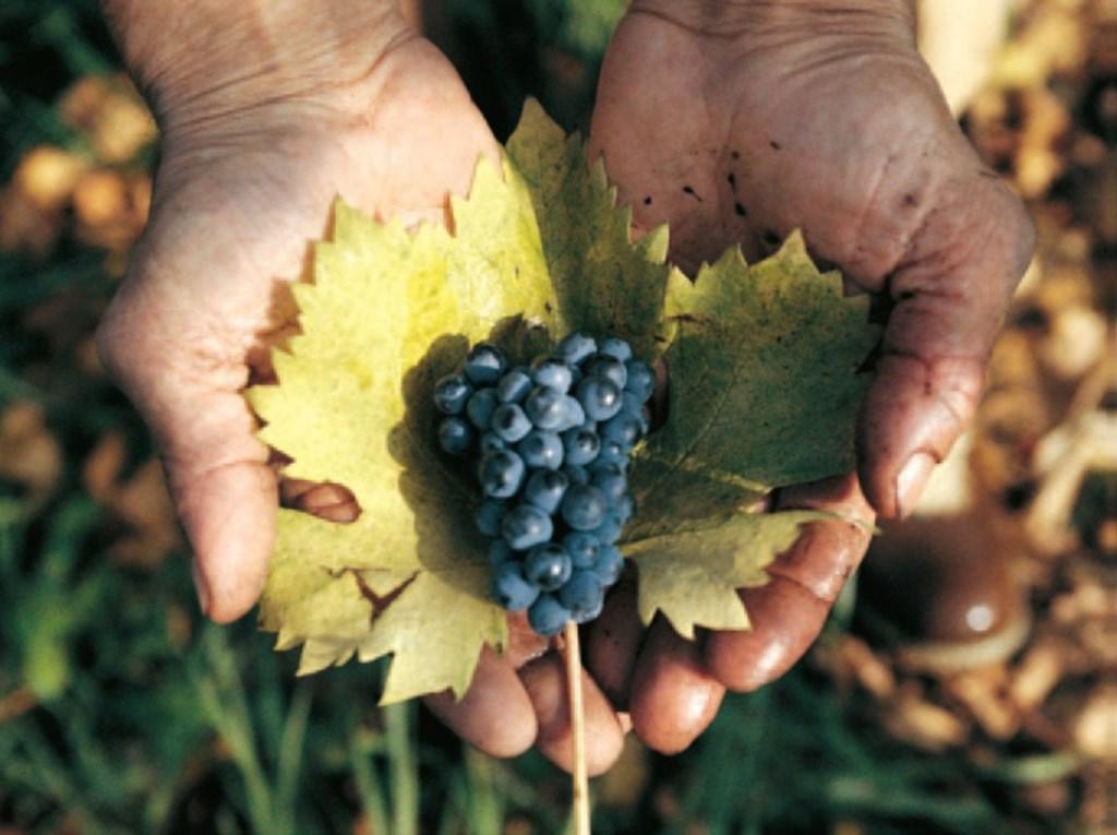 世界最古のブドウの一つ ヴェネトの古代品種 、「オゼレータ」